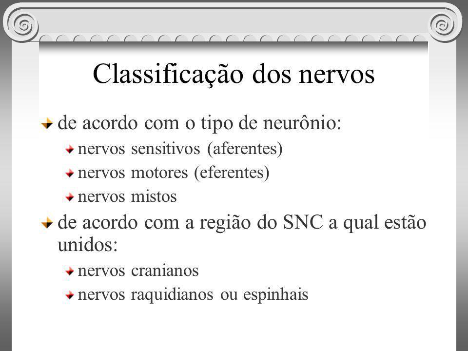 Classificação dos nervos de acordo com o tipo de neurônio: nervos sensitivos (aferentes) nervos motores (eferentes) nervos mistos de acordo com a regi