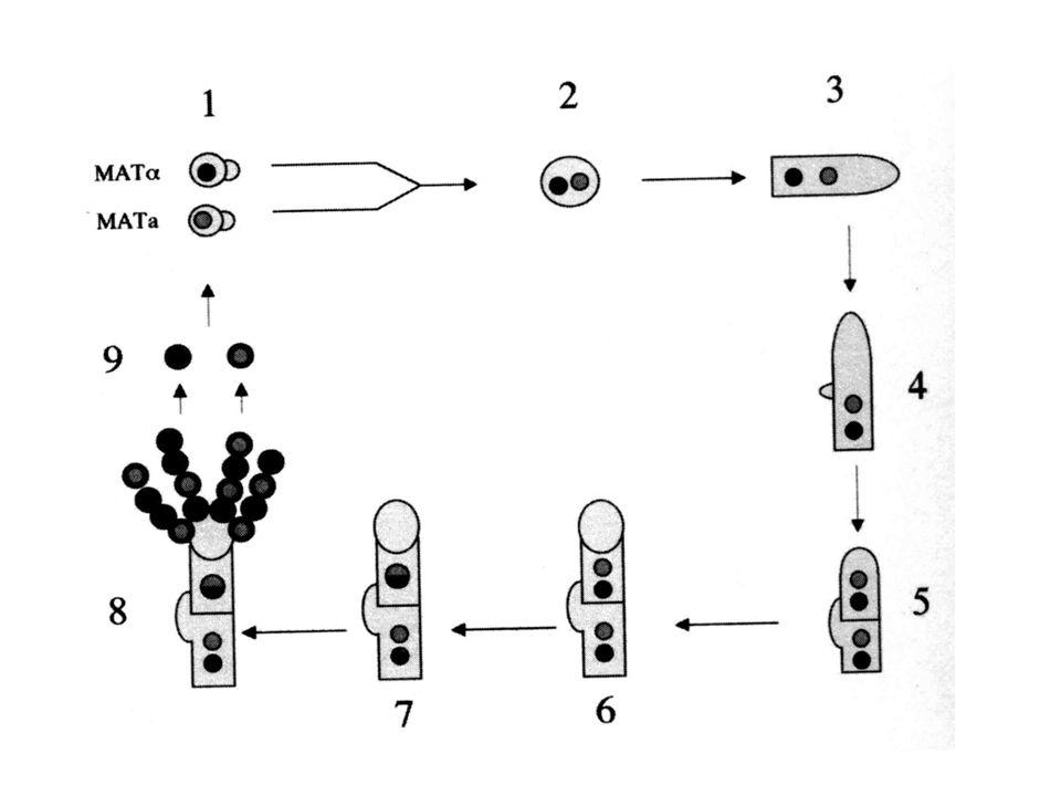 Cryptococcus neoformans Title: Disease(s): Cryptococcosis Legend: Microscopic view of C.