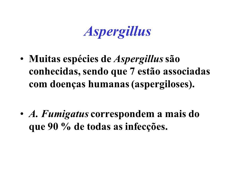 Aspergillus Muitas espécies de Aspergillus são conhecidas, sendo que 7 estão associadas com doenças humanas (aspergiloses). A. Fumigatus correspondem