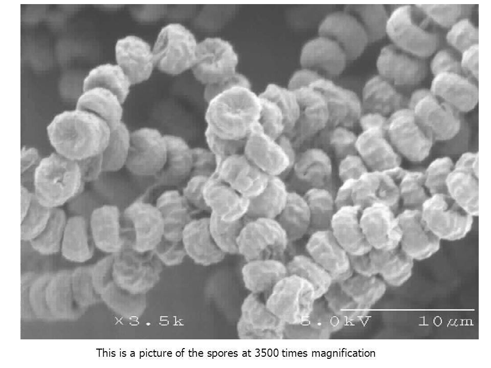 Esporulam abundantemente – presentes no meio ambiente 0-100 conídeos/m 3 Esporos pequenos 2-3 m As colônias crescem razoavelmente bem em uma larga faixa de temperatura, e o A.