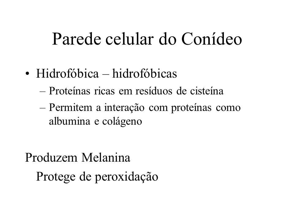Parede celular do Conídeo Hidrofóbica – hidrofóbicas –Proteínas ricas em resíduos de cisteína –Permitem a interação com proteínas como albumina e colá