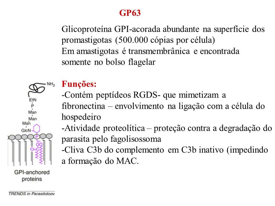 GP63 Glicoproteína GPI-acorada abundante na superfície dos promastigotas (500.000 cópias por célula) Em amastigotas é transmembrânica e encontrada som