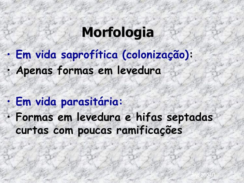 Ano 2004/1 Morfologia Em vida saprofítica (colonização): Apenas formas em levedura Em vida parasitária: Formas em levedura e hifas septadas curtas com