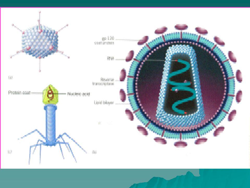 Os coronavirus infectam aves e mamíferos, incluindo o homem.Os coronavirus infectam aves e mamíferos, incluindo o homem.
