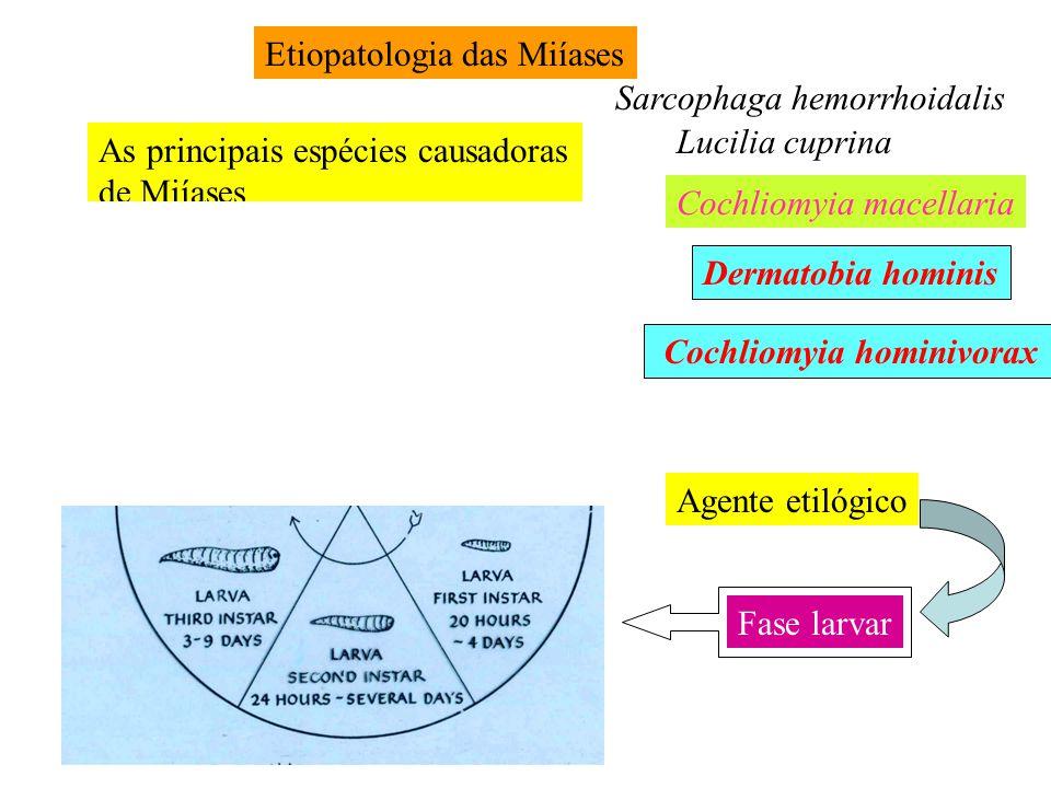 Etiopatologia das Miíases As principais espécies causadoras de Miíases Dermatobia hominis Cochliomyia hominivorax Lucilia cuprina Sarcophaga hemorrhoi