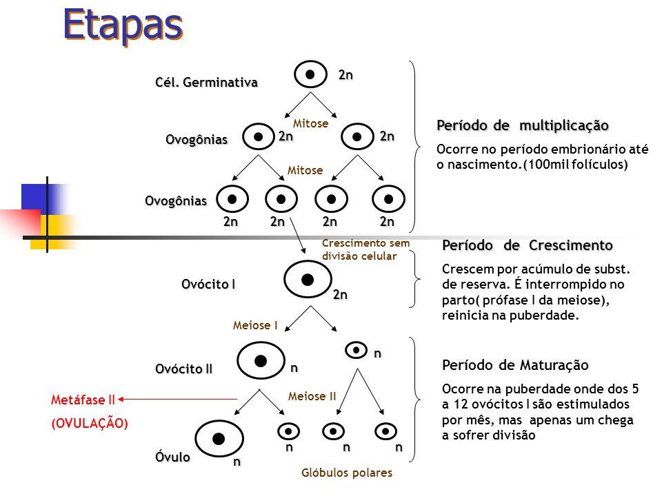 Etapas Período de multiplicação Ocorre no período embrionário até o nascimento.(100mil folículos) Período de Crescimento Crescem por acúmulo de subst.