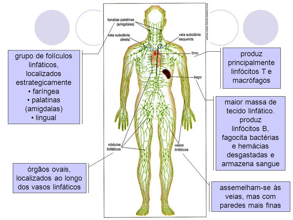 assemelham-se às veias, mas com paredes mais finas órgãos ovais, localizados ao longo dos vasos linfáticos grupo de folículos linfáticos, localizados