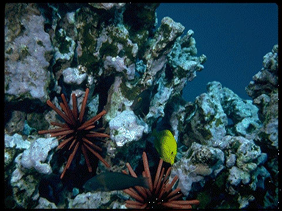 O paraíso intocável No fundo do mar o cardume de Acathurus nada sobre a variedade colorida dos recifes.