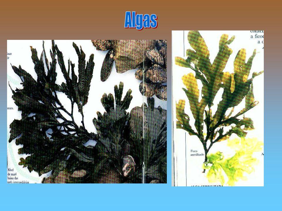 Algas As algas são vegetais aquáticas, elas vivem em lugares úmidos.