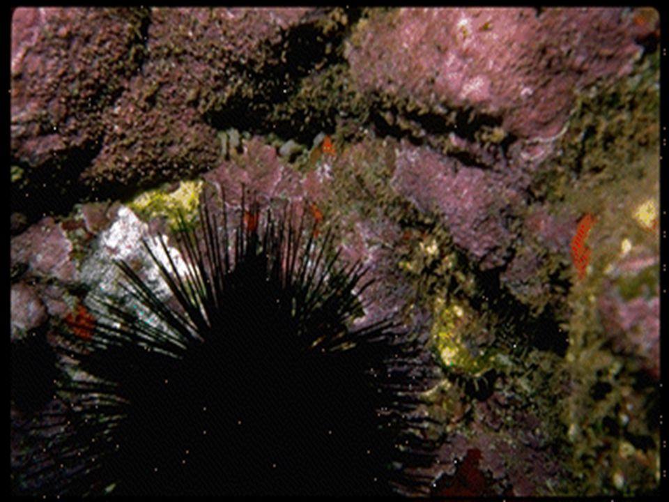 O siri e o caranguejo O siri e o caranguejo eles são parecidos, mas com certas partes incomuns.