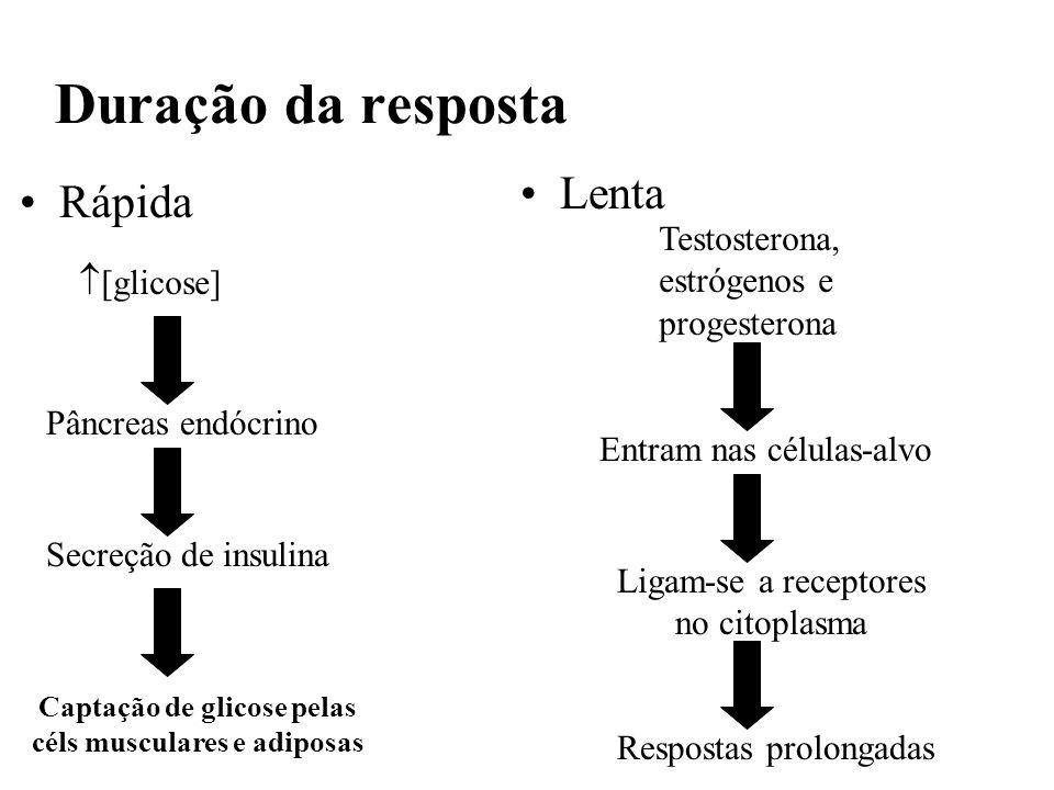 Duração da resposta Rápida [glicose] Pâncreas endócrino Secreção de insulina Captação de glicose pelas céls musculares e adiposas Testosterona, estróg
