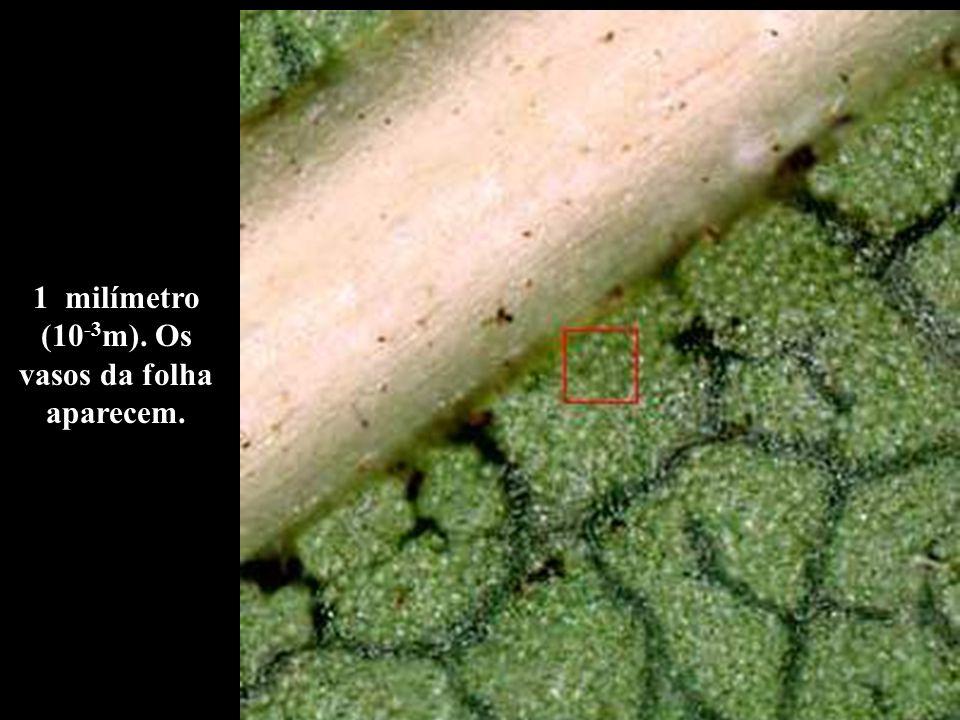 1 milímetro (10 -3 m). Os vasos da folha aparecem.