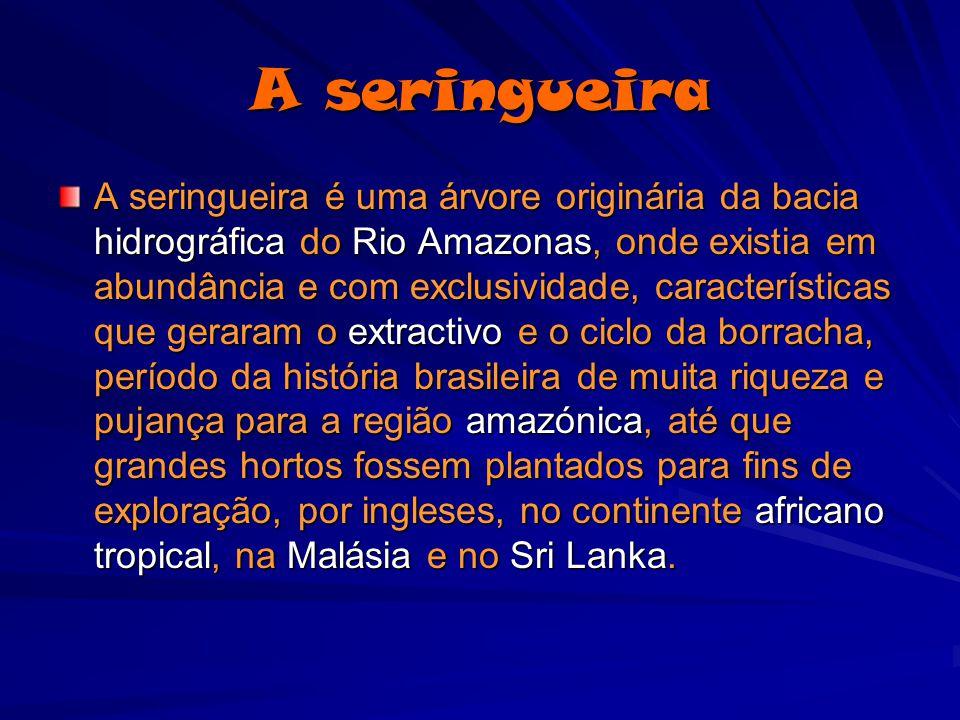 A seringueira A seringueira é uma árvore originária da bacia hidrográfica do Rio Amazonas, onde existia em abundância e com exclusividade, característ