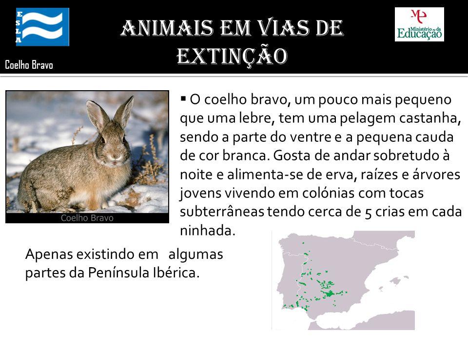 ESLA ESLA Coelho Bravo O coelho bravo, um pouco mais pequeno que uma lebre, tem uma pelagem castanha, sendo a parte do ventre e a pequena cauda de cor