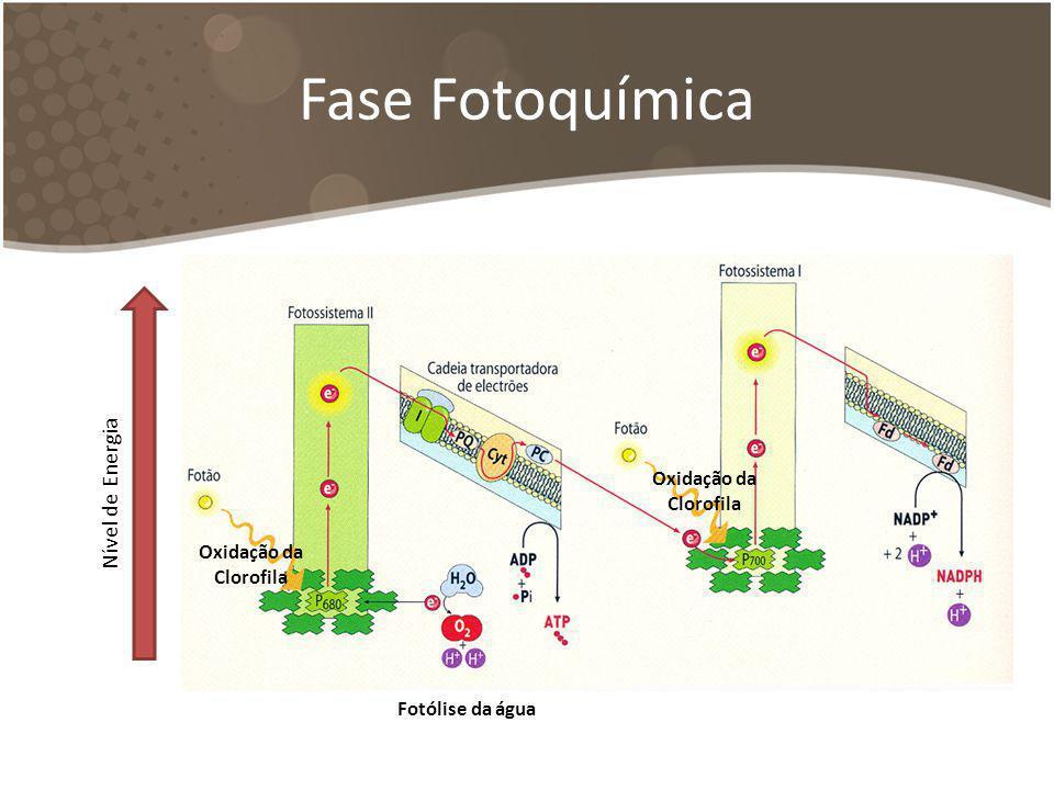 Fase Fotoquímica Nível de Energia Fotólise da água Oxidação da Clorofila Oxidação da Clorofila
