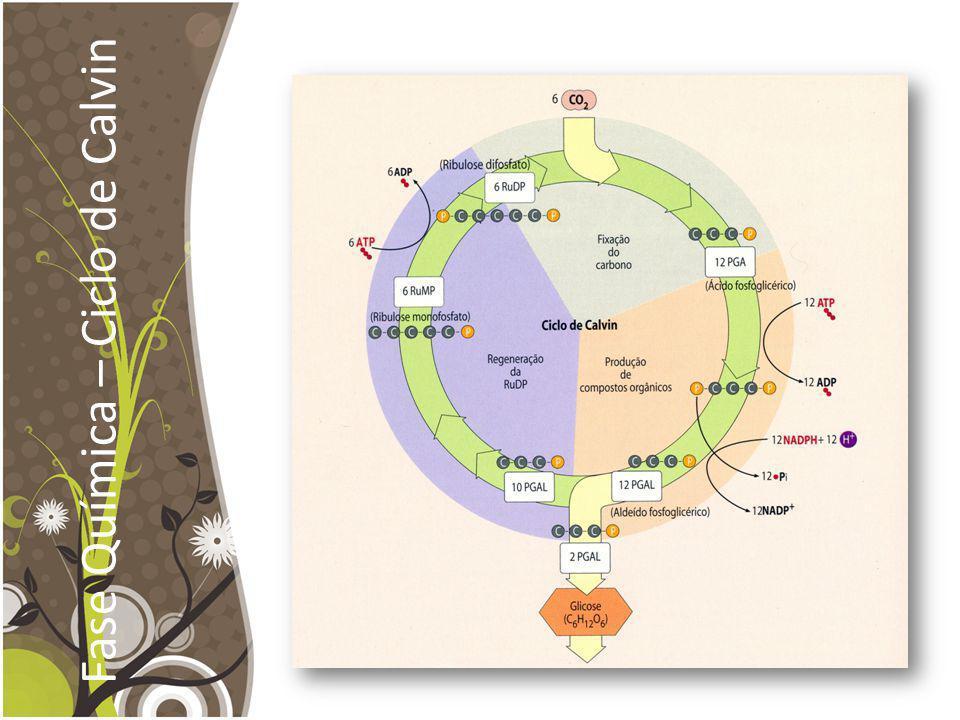 Fase Química – Ciclo de Calvin