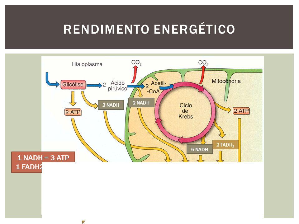 RENDIMENTO ENERGÉTICO 2 NADH 6 NADH 2 FADH 2 1 NADH = 3 ATP 1 FADH2 = 2 ATP 38 ATP