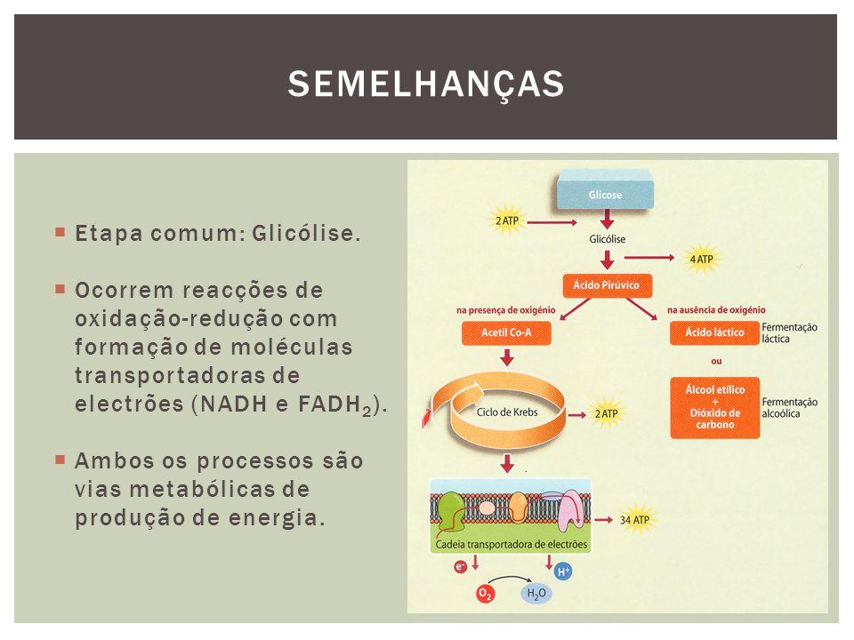 Etapa comum: Glicólise.