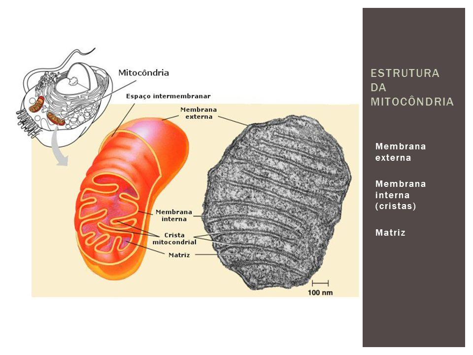 Membrana externa Membrana interna (cristas) Matriz ESTRUTURA DA MITOCÔNDRIA