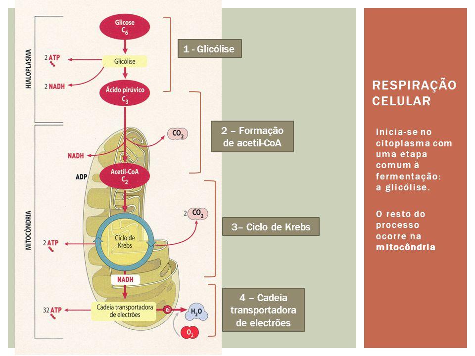 DIFERENÇAS Respiração AeróbiaFermentação Tem de ocorrer na presença de O 2, que é o aceitador final de electrões na cadeia transportadora Ocorre na ausência de Oxigénio.