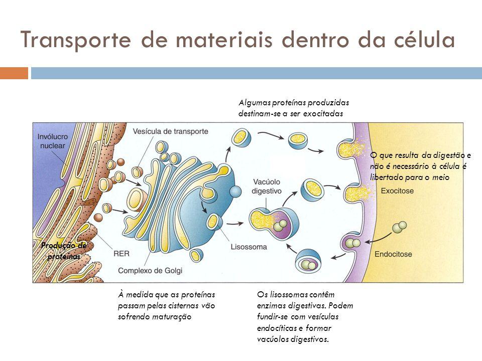 Transporte de materiais dentro da célula Produção de proteínas À medida que as proteínas passam pelas cisternas vão sofrendo maturação Os lisossomas c