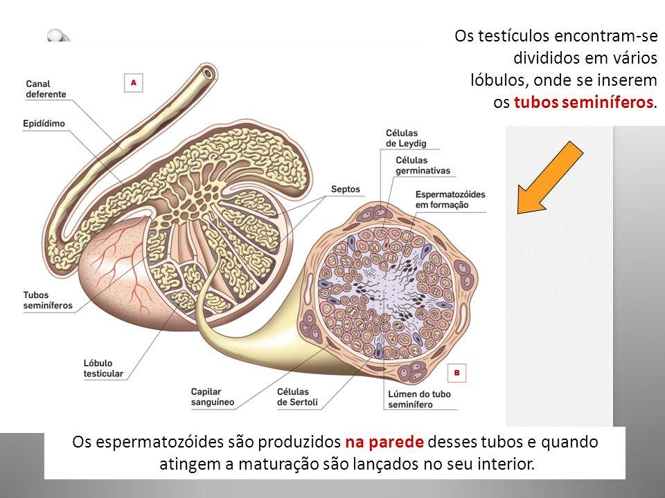 Os testículos encontram-se divididos em vários lóbulos, onde se inserem os tubos seminíferos.