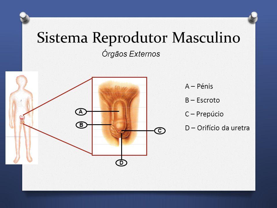 A B C D A – Pénis B – Escroto C – Prepúcio D – Orifício da uretra Sistema Reprodutor Masculino Órgãos Externos