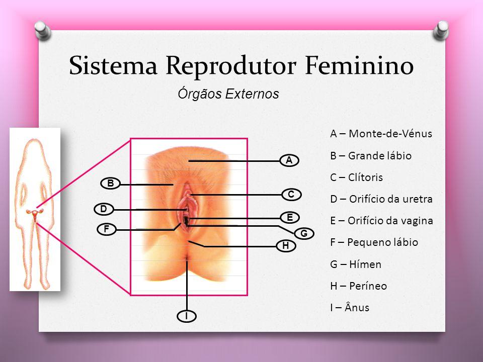A B C D E F G H I A – Monte-de-Vénus B – Grande lábio C – Clítoris D – Orifício da uretra E – Orifício da vagina F – Pequeno lábio G – Hímen H – Períneo I – Ânus Sistema Reprodutor Feminino Órgãos Externos
