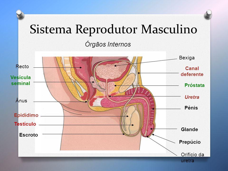 Bexiga Orifício da uretra Recto Ânus Vesícula seminal Próstata Uretra Canal deferente Testículo Epidídimo Escroto Glande Prepúcio Pénis Sistema Reprodutor Masculino Órgãos Internos
