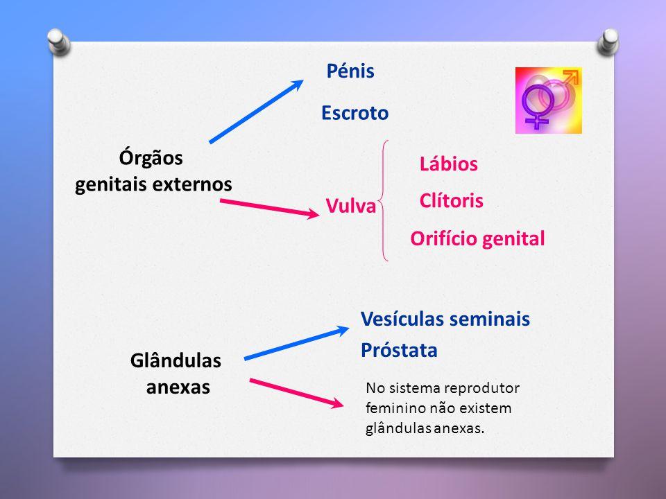 Órgãos genitais externos Vulva Pénis Escroto Lábios Clítoris Orifício genital Glândulas anexas No sistema reprodutor feminino não existem glândulas anexas.