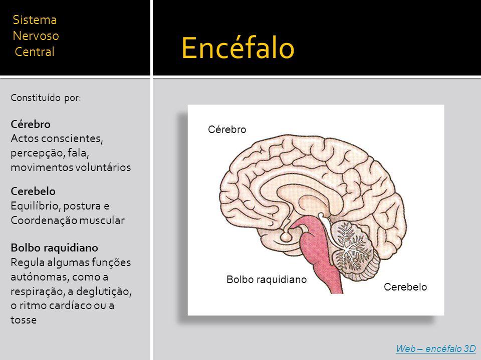 Sistema Nervoso Central Constituído por: Cérebro Actos conscientes, percepção, fala, movimentos voluntários Encéfalo Cérebro Cerebelo Bolbo raquidiano Cerebelo Equilíbrio, postura e Coordenação muscular Bolbo raquidiano Regula algumas funções autónomas, como a respiração, a deglutição, o ritmo cardíaco ou a tosse Web – encéfalo 3D