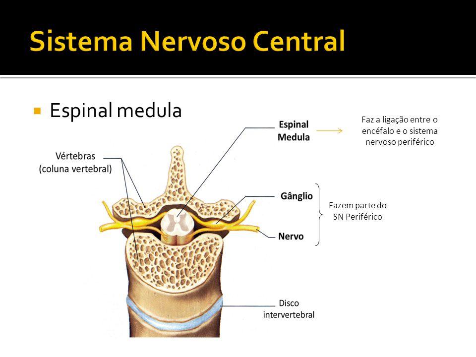 Fazem parte do SN Periférico Espinal medula Faz a ligação entre o encéfalo e o sistema nervoso periférico