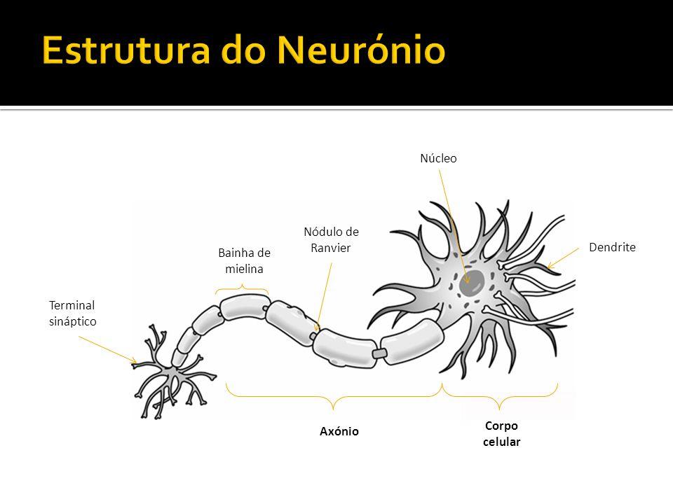 Terminal sináptico Axónio Corpo celular Núcleo Dendrite Bainha de mielina Nódulo de Ranvier