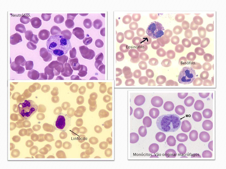 Monócitos. Vão originar macrófagos Neutrófilo. Linfócito Eosinófilo. Basófilo.