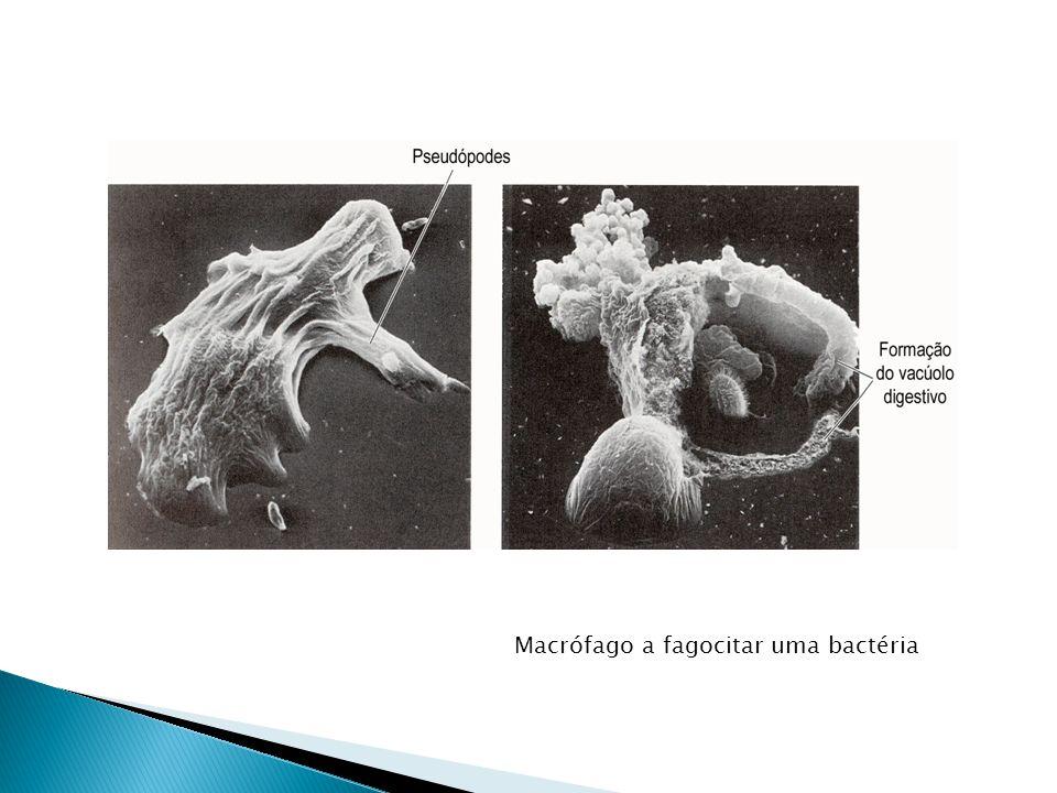 Macrófago a fagocitar uma bactéria