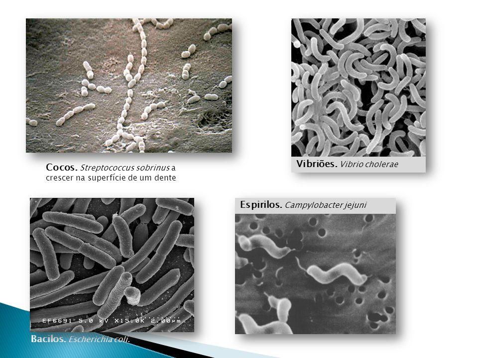Cocos. Streptococcus sobrinus a crescer na superfície de um dente Bacilos. Escherichia coli. Vibriões. Vibrio cholerae Espirilos. Campylobacter jejuni