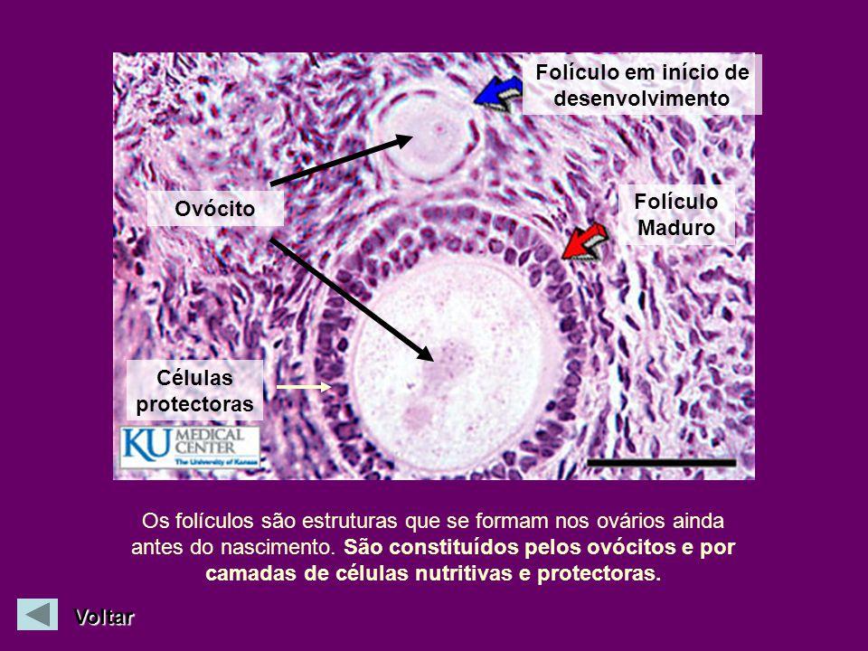 Folículo em início de desenvolvimento Folículo Maduro Ovócito Os folículos são estruturas que se formam nos ovários ainda antes do nascimento. São con