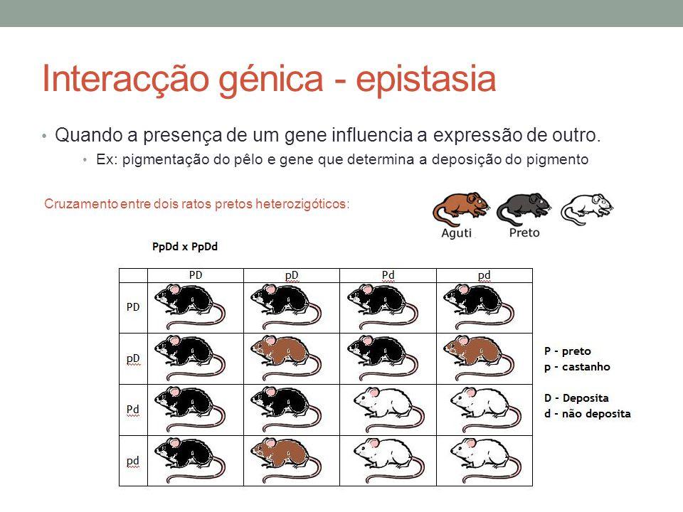 Interacção génica - epistasia Quando a presença de um gene influencia a expressão de outro. Ex: pigmentação do pêlo e gene que determina a deposição d