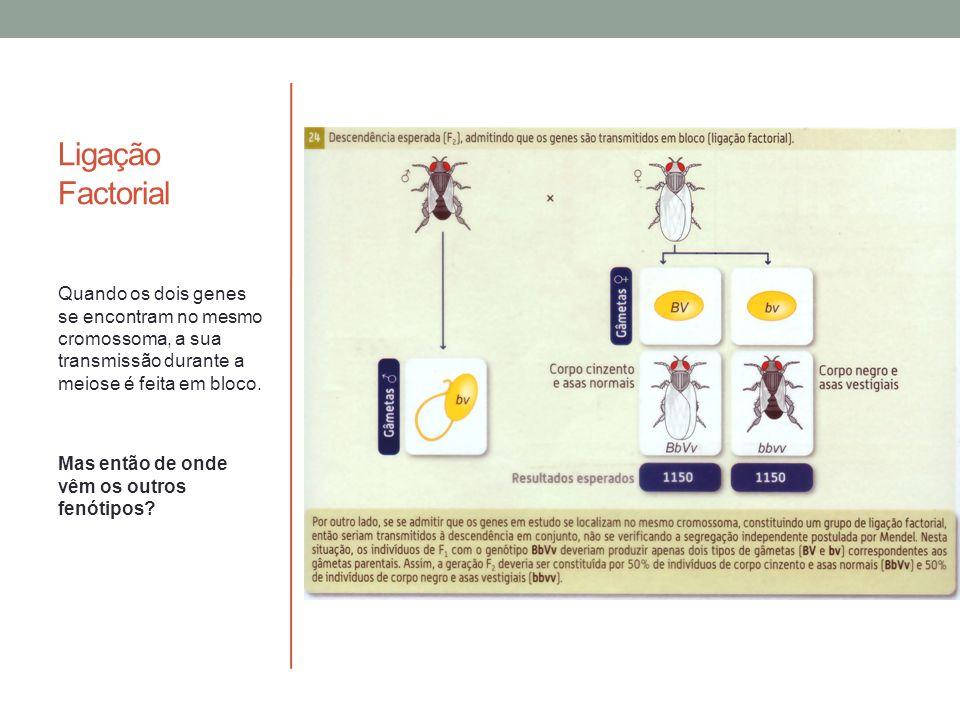 Ligação Factorial Quando os dois genes se encontram no mesmo cromossoma, a sua transmissão durante a meiose é feita em bloco. Mas então de onde vêm os