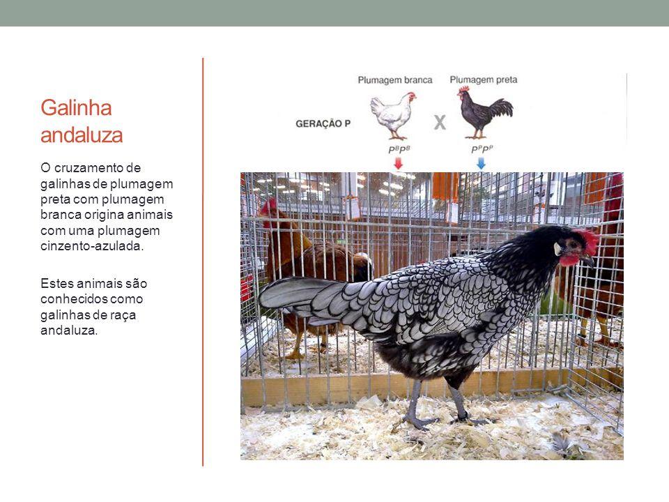 Galinha andaluza O cruzamento de galinhas de plumagem preta com plumagem branca origina animais com uma plumagem cinzento-azulada. Estes animais são c