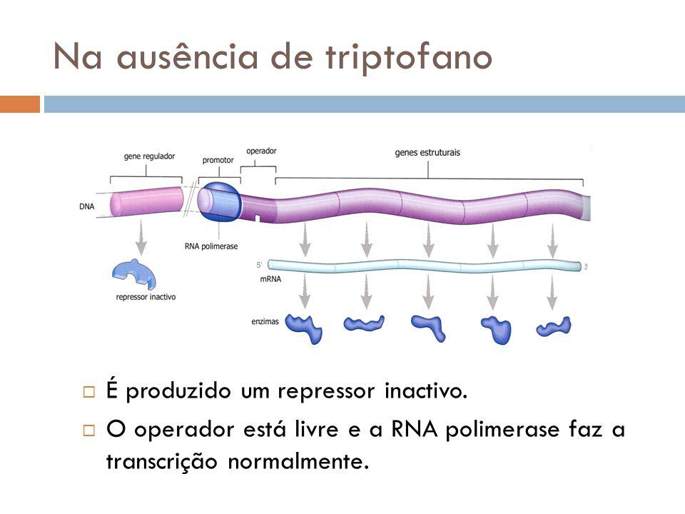 Na ausência de triptofano É produzido um repressor inactivo. O operador está livre e a RNA polimerase faz a transcrição normalmente.