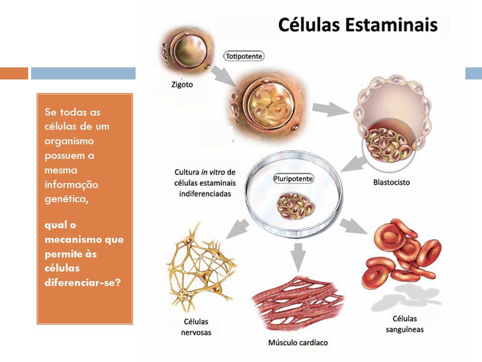 Se todas as células de um organismo possuem a mesma informação genética, qual o mecanismo que permite às células diferenciar-se?