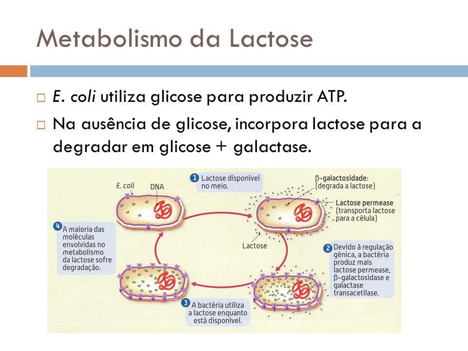Metabolismo da Lactose E. coli utiliza glicose para produzir ATP. Na ausência de glicose, incorpora lactose para a degradar em glicose + galactase.