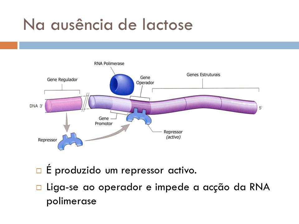 Na ausência de lactose É produzido um repressor activo. Liga-se ao operador e impede a acção da RNA polimerase