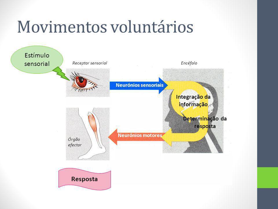 Movimentos voluntários Estímulo sensorial Neurónios sensoriais Neurónios motores Integração da informação Determinação da resposta Resposta Receptor s