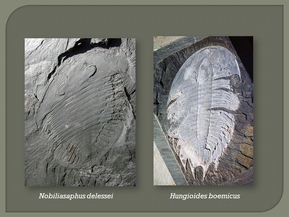 Nobiliasaphus delesseiHungioides boemicus