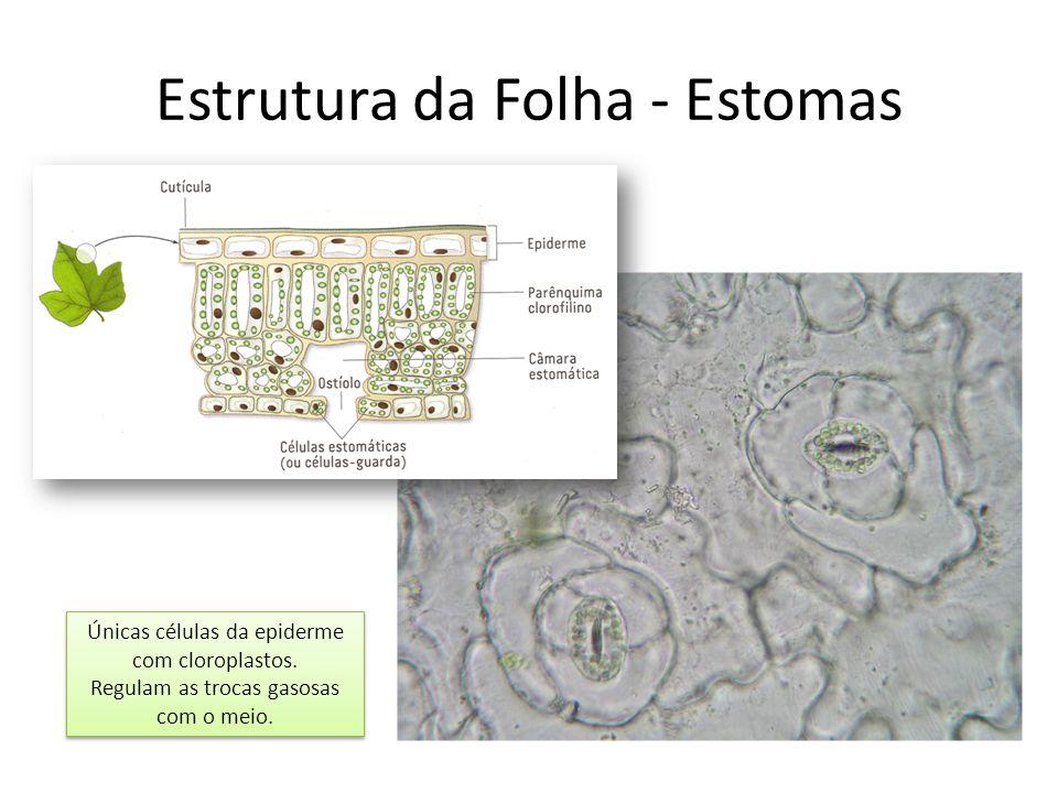Estrutura da Folha - Estomas Únicas células da epiderme com cloroplastos. Regulam as trocas gasosas com o meio. Únicas células da epiderme com cloropl