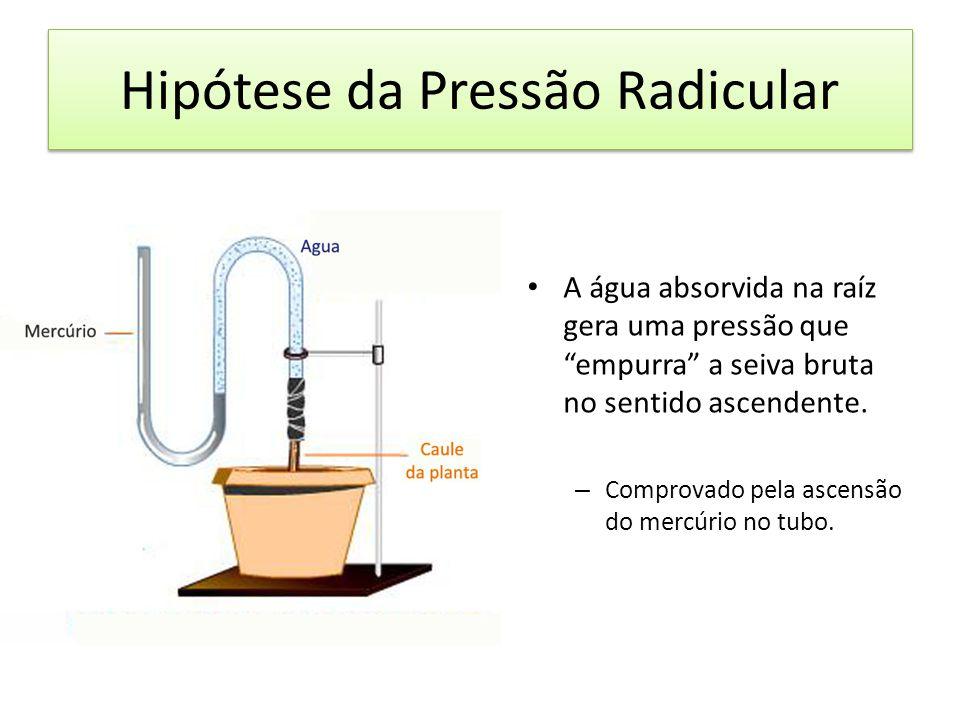 Hipótese da Pressão Radicular A água absorvida na raíz gera uma pressão que empurra a seiva bruta no sentido ascendente. – Comprovado pela ascensão do