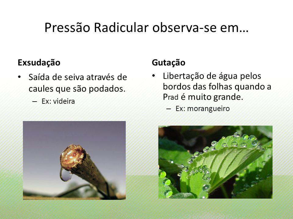 Pressão Radicular observa-se em… Exsudação Saída de seiva através de caules que são podados. – Ex: videira Gutação Libertação de água pelos bordos das