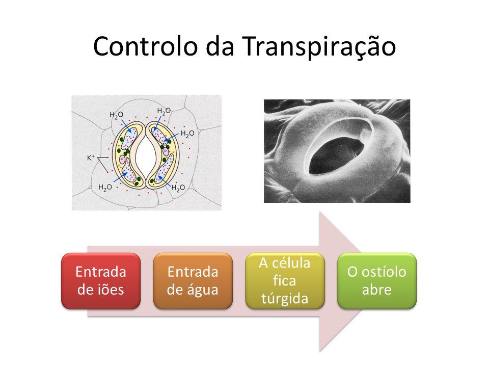 Controlo da Transpiração Entrada de iões Entrada de água A célula fica túrgida O ostíolo abre